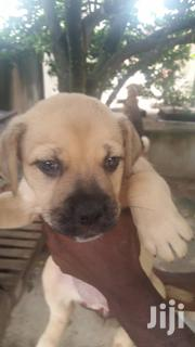Baby Female Purebred Boerboel | Dogs & Puppies for sale in Greater Accra, Accra Metropolitan