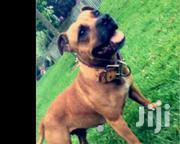 Adult Male Purebred Bullmastiff | Dogs & Puppies for sale in Western Region, Wassa West