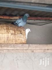 Doves For Sale At A Cool Price | Birds for sale in Northern Region, Tamale Municipal
