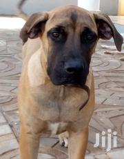 Young Female Purebred Boerboel | Dogs & Puppies for sale in Greater Accra, Tema Metropolitan
