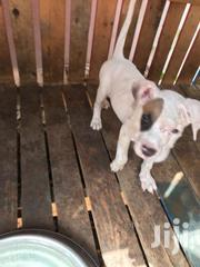 Pit Bull Puppy | Dogs & Puppies for sale in Greater Accra, Odorkor