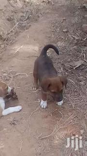 Puppies. Very Healthy | Dogs & Puppies for sale in Greater Accra, Agbogbloshie