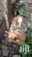 Puppies. Very Healthy   Dogs & Puppies for sale in Agbogbloshie, Greater Accra, Nigeria