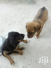 Baby Male Mixed Breed Rottweiler | Dogs & Puppies for sale in Greater Accra, Tema Metropolitan