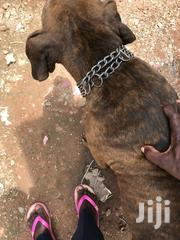 Adult Female Purebred Bullmastiff | Dogs & Puppies for sale in Greater Accra, Adenta Municipal