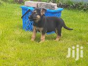 Baby Male Purebred German Shepherd Dog | Dogs & Puppies for sale in Greater Accra, Dansoman