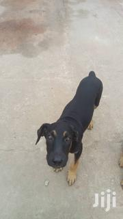 Baby Female Mixed Breed Bullmastiff | Dogs & Puppies for sale in Greater Accra, Accra Metropolitan