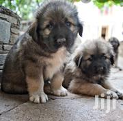 Baby Female Purebred Caucasian Shepherd Dog | Dogs & Puppies for sale in Greater Accra, North Kaneshie