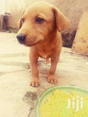 Baby Male Mixed Breed Boerboel | Dogs & Puppies for sale in Greater Accra, Accra Metropolitan