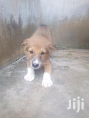 Baby Male Mixed Breed German Shepherd Dog | Dogs & Puppies for sale in Greater Accra, Accra Metropolitan