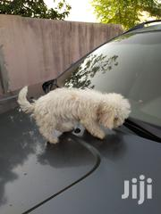 Baby Female Purebred Poodle | Dogs & Puppies for sale in Greater Accra, Tema Metropolitan