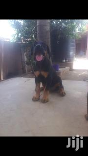 Baby Female Purebred Doberman Pinscher | Dogs & Puppies for sale in Greater Accra, Adenta Municipal