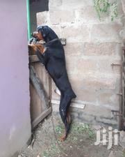 Adult Male Purebred Doberman Pinscher | Dogs & Puppies for sale in Greater Accra, Adenta Municipal