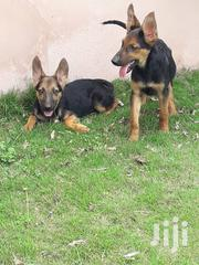 Young Female Purebred German Shepherd Dog | Dogs & Puppies for sale in Greater Accra, Accra Metropolitan