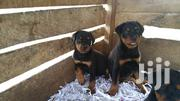 Baby Male Purebred Rottweiler | Dogs & Puppies for sale in Central Region, Cape Coast Metropolitan