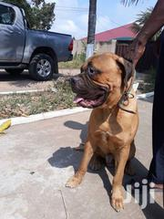 Foreign Bullmastiff Male | Dogs & Puppies for sale in Greater Accra, Accra Metropolitan