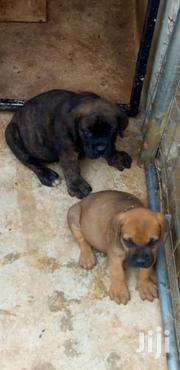 Baby Male Purebred Boerboel | Dogs & Puppies for sale in Greater Accra, North Kaneshie