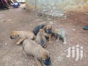 Baby Female Purebred Boerboel | Dogs & Puppies for sale in Greater Accra, North Kaneshie