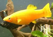 Live Aquarium Fishes | Pet's Accessories for sale in Greater Accra, North Kaneshie