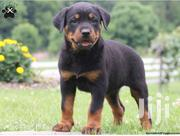 Baby Female Purebred Rottweiler | Dogs & Puppies for sale in Ashanti, Sekyere Central