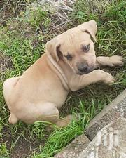 Young Male Purebred Boerboel | Dogs & Puppies for sale in Western Region, Shama Ahanta East Metropolitan