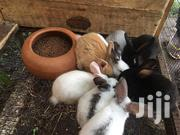 Rabbit Bunnies Forsale | Livestock & Poultry for sale in Greater Accra, Kwashieman