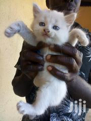 Baby Male Mixed Breed Persian | Cats & Kittens for sale in Greater Accra, Ga West Municipal