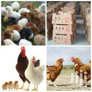 Day Old Chick's All Kinds | Livestock & Poultry for sale in Greater Accra, Accra Metropolitan
