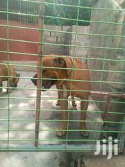 Adult Male Purebred Boerboel | Dogs & Puppies for sale in Greater Accra, Teshie-Nungua Estates
