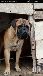 Adult Male Purebred Bullmastif   Dogs & Puppies for sale in Greater Accra, Accra Metropolitan