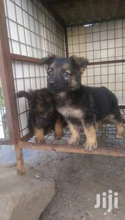 Young Male Purebred German Shepherd Dog | Dogs & Puppies for sale in Greater Accra, Airport Residential Area