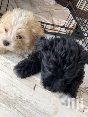 Baby Female Purebred Poodle | Dogs & Puppies for sale in Greater Accra, Osu