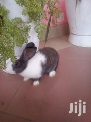 2 Months Rabbits for Sale | Other Animals for sale in Central Region, Awutu-Senya