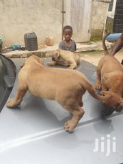 Baby Female Purebred Boerboel | Dogs & Puppies for sale in Greater Accra, Adenta Municipal