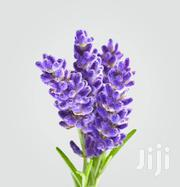 Lavender Flower Seeds   Feeds, Supplements & Seeds for sale in Greater Accra, Kwashieman