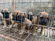 Baby Male Purebred Bullmastiff | Dogs & Puppies for sale in Greater Accra, North Kaneshie