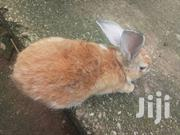 6 Months Old Rabbits For Sale.   Livestock & Poultry for sale in Ashanti, Obuasi Municipal