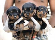 Baby Female Purebred Rottweiler | Dogs & Puppies for sale in Greater Accra, Accra Metropolitan