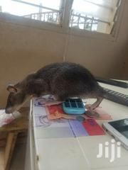 Rat For Sale | Other Animals for sale in Greater Accra, Achimota