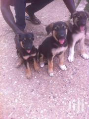 German Shepherd Puppies For Sale   Dogs & Puppies for sale in Ashanti, Kwabre