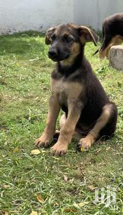 Baby Male Purebred German Shepherd Dog   Dogs & Puppies for sale in Greater Accra, Nungua East