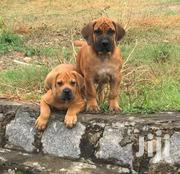 Pure Boerboel Puppies For Sale | Dogs & Puppies for sale in Greater Accra, East Legon