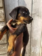 Baby Female Purebred Rottweiler | Dogs & Puppies for sale in Greater Accra, Osu