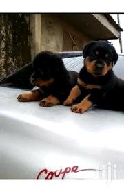 Baby Female Purebred Rottweiler   Dogs & Puppies for sale in Greater Accra, Asylum Down