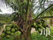 Dwarf Coconut | Feeds, Supplements & Seeds for sale in Greater Accra, Avenor Area