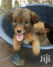 Baby Male Mixed Breed German Shepherd Dog   Dogs & Puppies for sale in Greater Accra, Ga West Municipal
