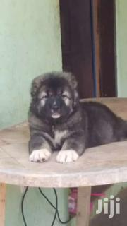 Pure Caucasian Shepherd Puppies | Dogs & Puppies for sale in Greater Accra, East Legon