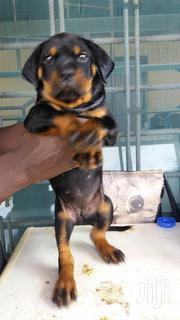 Baby Female Purebred Rottweiler   Dogs & Puppies for sale in Greater Accra, Accra Metropolitan