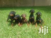 Baby Male Purebred Doberman Pinscher | Dogs & Puppies for sale in Greater Accra, Ledzokuku-Krowor