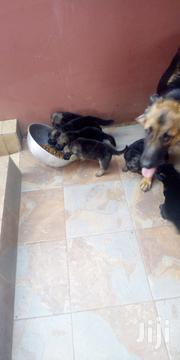 Baby Male Mixed Breed German Shepherd Dog | Dogs & Puppies for sale in Greater Accra, East Legon